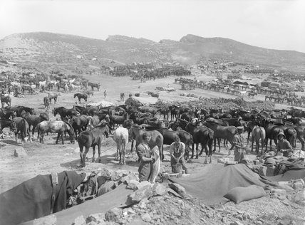 British horse lines at Suvla Bay during the Gallipoli Campaign in 1915.