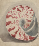 A bright pink and white shell