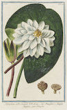 Nymphaea alba major [European White Waterlily]