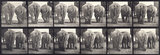 Elephants; two, walking; from 'Animal Locomotion. An Eletro-Photographic Investigation of Consecutive Phases of Animal Movement 1872-1885'