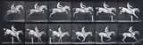 Jumping a hurdle; bareback, clearing and landing; rider, 105; gray mare Pandora.; from 'Animal Locomotion. An Electro-Photographic Investigation of Consecutive Phases of Animal Movement 1872-1885'
