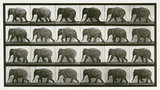 Elephant; walking; from 'Animal Locomotion. An Electro-Photographic Investigation of Consecutive Phases of Animal Movement 1872-1885'