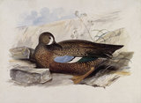 A duck, probably a Blue-winged Teal, in profile