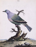 The Purple Pigeon', from 'New illustrations of zoology', London, 1776