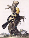 The Yellow crested Woodpecker', from 'New illustrations of zoology', London, 1776
