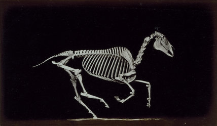 Skeleton of horse, contact with the ground whilst running