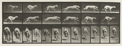 Dog; galloping; white racing hound (Maggie)