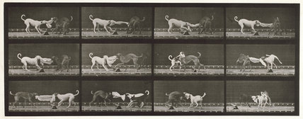 Dogs; three; tugging at a towel Ike, Maggie etc.; from 'Animal Locomotion. An Electro-Photographic Investigation of Consecutive Phases of Animal Movement 1872-1885'