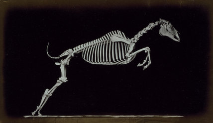 Skeleton of leaping horse, leaving the ground.