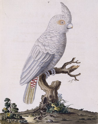 The Red Vented Cockatoo', from 'New illustrations of zoology', London, 1776