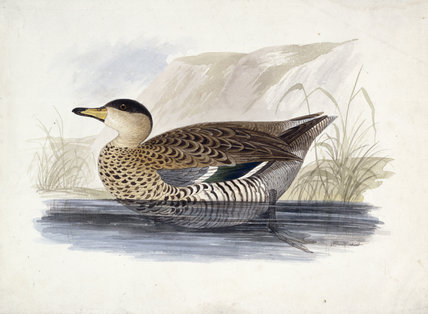 A duck, probably a Silver Teal, in profile