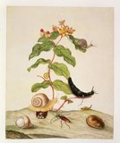 No.1146c Hypericum Baxiforum with snails and a beetle, 1695