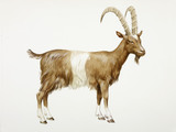 A reconstruction drawing of a Neolithic goat