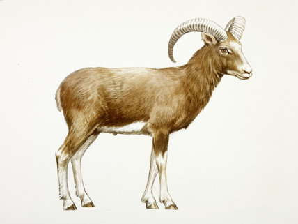 A reconstruction drawing of a Neolithic sheep