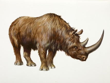 A reconstruction drawing of a Palaeolithic woolly rhino