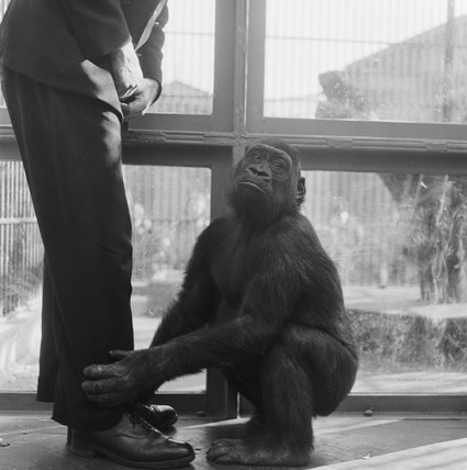 A chimp at London Zoo; 1951