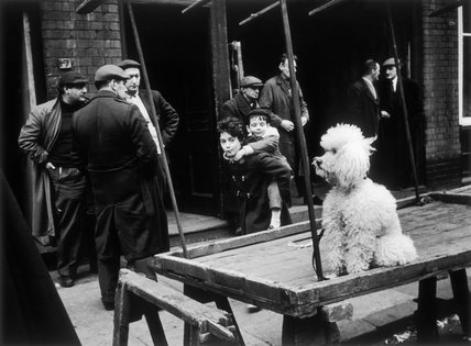 A poodle sitting on an empty market stand: 1961