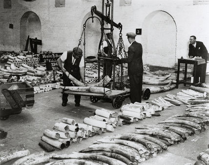 Weighing and checking ivory: 1930