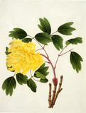 Yellow peony on a branch