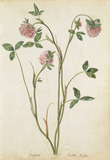 Red Clover, by Jacques Le Moyne de Morgues