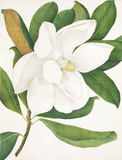 Magnolia Grandiflora, by A. Power