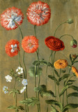 Poppies, by Johann Jakob Walther