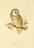 Tengmalms owl, by Edward Lear