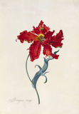 Peroquet Rouge, Parrot Tulip, by George Dionysus Ehret