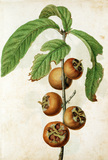 Medlar, by Jacques Le Moyne de Morgues