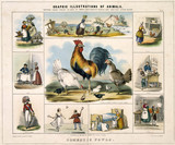 'Domestic Fowls', c 1845.