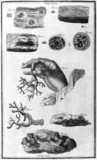 Corals in various stages of development, 1725.