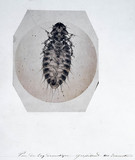 Chicken louse, micrograph, 19th century.