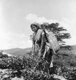 Woman plucking tea leaves, Ceylon (Sri Lank