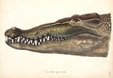Estuarine or Saltwater Crocodile, Asia, 1837-1844.