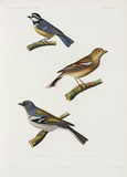 Blue tit and North African chaffinches, Algeria, 1840-1842.