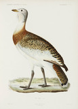 Great bustard, Algeria, 1840-1842.