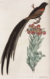 Crossbill and tropical flower, 1776.