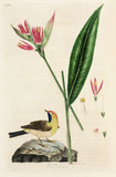 False Bird of Paradise flower and wagtail, 1776.
