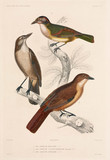 Types of shrike, 1837-1840.