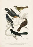 Flycatchers, 1837-1840.