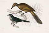 Two types of bird, 1837-1840.