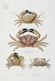 Four types of crab, 1837-1840.