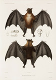 Flying fox, 1837-1840.