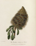 'The Banksia serrata in Fruit', 1789.