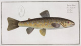 'The Trout', 1785-1788.