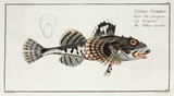 'The Father Lascher', (sculpin fish), 1785-1788.