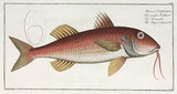 'The Striped Surmulet', (red mullet), 1785-1788.