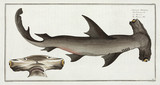 'The Balance Fish', (hammerhead shark), 1785-1788.
