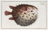 'The prickly Bottlefish', (Birdbeak burrfish), 1785-1788.