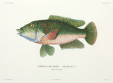 Type of wrasse, Tahiti, (French Polynesia), 1822-1825.